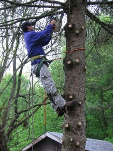 an arborist cutting a blue spruce down